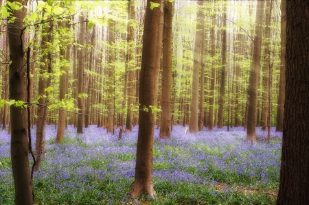 beautiful woodland: Sunbeams on bluebells in springtime forest near Brussels in Belgium
