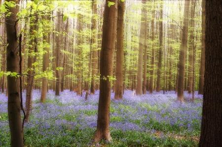 fleurs des champs: Sunbeams sur jacinthes dans la for�t au printemps, pr�s de Bruxelles en Belgique Banque d'images