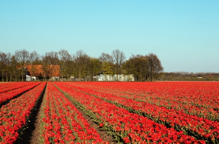bulb tulip: Famous Dutch bulb fields with millions of tulips in Holland
