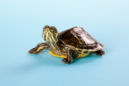 baby turtle: Little baby turtle sitting on a blue background Stock Photo