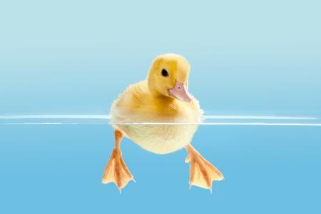 Kleine gele Pasen eendje zwemmen voor de allereerste keer