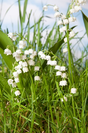 muguet: Muguet or wildflowers lily-of-the-valley growing in grass