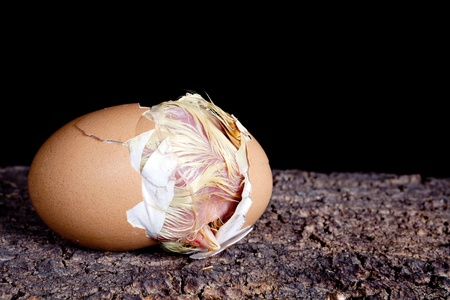 cracking: Baby chick hatching out of a brown egg Stock Photo