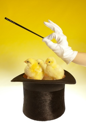magic trick: Magic trick with three chicks in a top hat Stock Photo