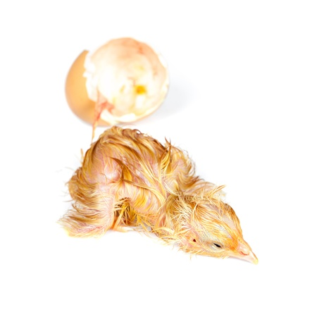 Tired little newly hatched chick isolated on white photo
