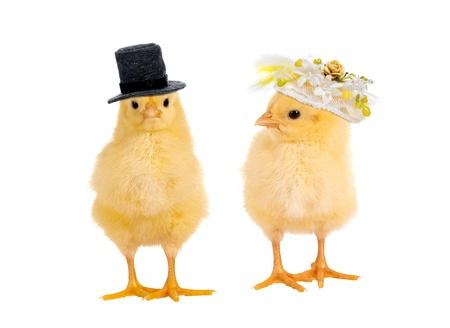 가금류: 결혼식의 신랑 신부처럼 옷을 입고 신생아 노란색 부활절 병아리의 커플