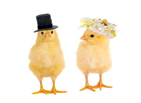 Couple of newborn yellow easter chicks dressed as a bride and groom for a wedding Stock Photo