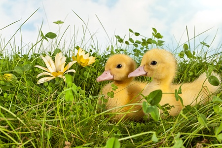 pollitos: Jard�n con dos patitos reci�n nacidos en la hierba