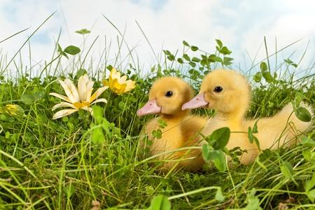 Tuin met twee pasgeboren eendjes in het gras