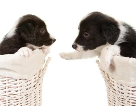 twins: 5 weeks old border collie puppies in a laundry basket