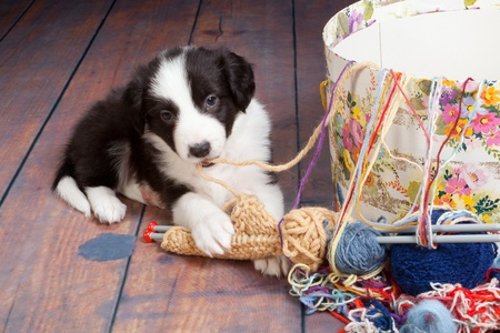 Funny doggy playing with woold and knit work photo