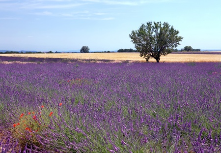 Wheat fields next to the lavender fields of the French Provence near Valensole photo