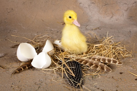 Baby duckling sitting on its nest with broken eggshells photo