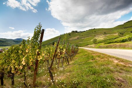 wine road: Alsace famous wine route in France offers this view on a curving road through the vineyards near Riquewihr Stock Photo