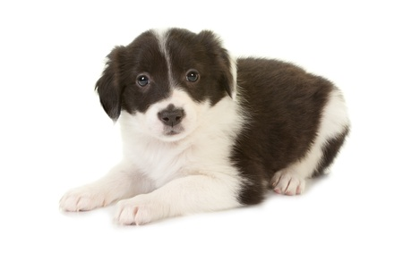 border collie puppy: Isolated 5 week old border collie puppy lying on white Stock Photo