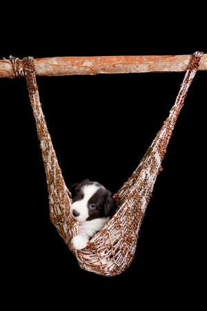 Sleepy puppy of 5 weeks old in a brown hammock photo