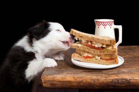perro comiendo: Border Collie cachorros acerar un sándwich de la mesa Foto de archivo