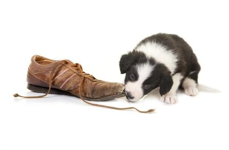 masticar: Naughty cachorro collie de la frontera atrapado mientras mastica en un zapato Foto de archivo