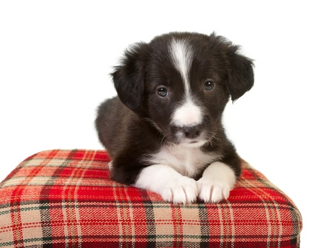 border collie puppy: Cute 5 week old border collie puppy on a red pillow Stock Photo