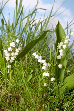 muguet: Low shot of wildflowers lily-of-the-valley growing in grass