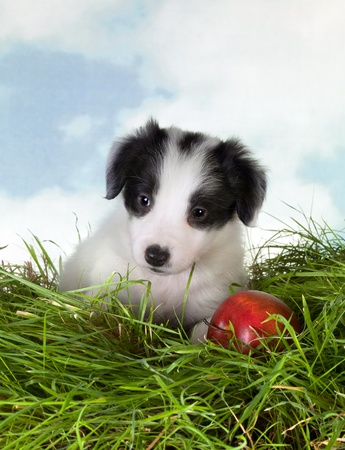Adorable 5 week old border collie puppy on grass photo