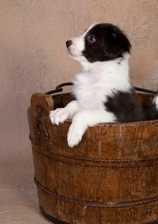 Cutte happy border collie puppy in a wooden bucket photo
