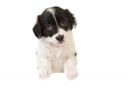 Cute border collie puppy with its paws on a message card Stock Photo - 12999194