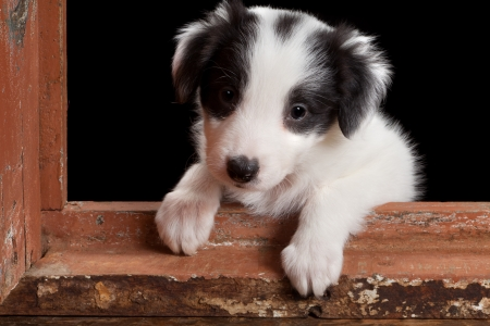 Cute puppy like in the song how much is that doggy in the window Stock Photo - 12999523