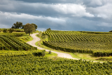 wine road: Famous wine route in Alsace France offers this view on a curving road through the vineyards near Riquewihr