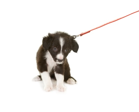 border collie puppy: Border collie puppy first time on a leash