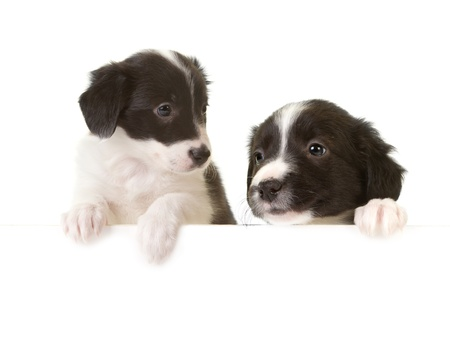bordercollie: Twee pasgeboren border collie pups met poten op een message board Stockfoto