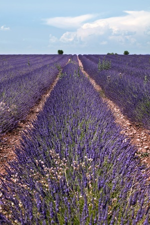 fragrant scents: Horizon of rows of scented flowers in the lavender fields of the French Provence near Valensole
