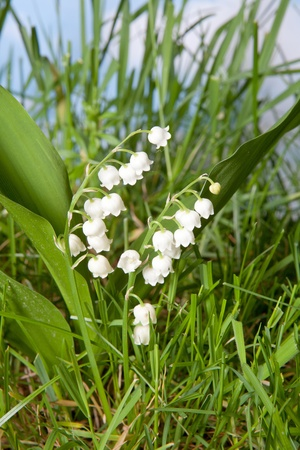 muguet: Shot at low angle wildflowers lily-of-the-valley growing in grass
