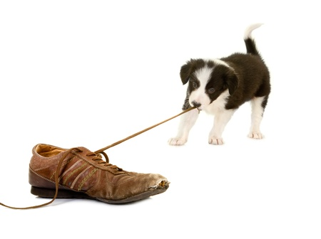 Young puppy of 5 weeks old pulling the lace of an old shoe Stock Photo