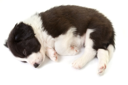 Sleeping 5 weeks old border collie puppy isolated photo