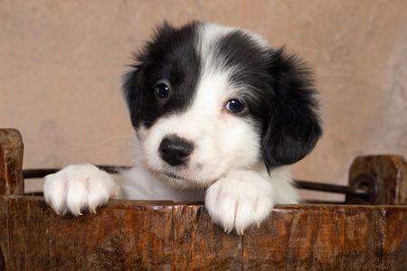 Sweet 5 weeks old border collie puppy in a vintage wooden bucket photo