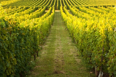bordeaux: Endless vines in a row growing in the Alsace region of France Stock Photo