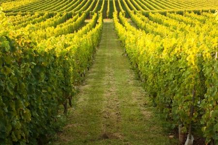 Vignes sans fin dans une rangée de plus en plus dans la région Alsace de la France