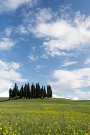 Yellow flowers and wheat in front of the famous cypress trees of Tuscany photo