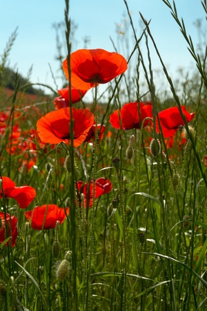 Detail of a poppy field against a blue sky photo