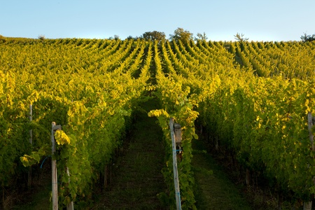 bordeaux: Vines in a row growing in the Alsace region of France