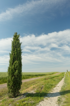 Londely cypress tree on a footpath in Tuscany near Pienza, Italy