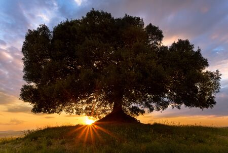Sunbeams shining below a lonely tree on a hill in Tuscany at sunset