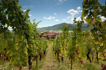 bas: View through the vineyards along the famous wine route in Alsace, France