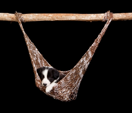 border collie puppy: Brown hammock with a cute 5 weeks old border collie puppy Stock Photo