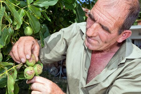 man nuts: Old bulgarian farmer checking the harvest in his orchard