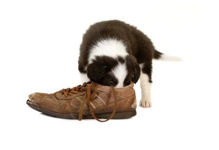 border collie puppy: Little border collie puppy of 5 weeks old smelling an old shoe