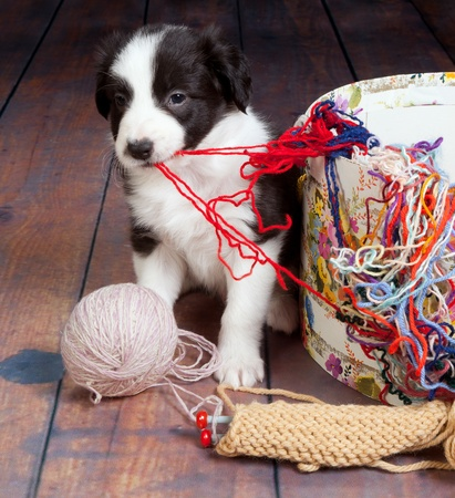mess: Little puppy dog making a mess of balls of wool