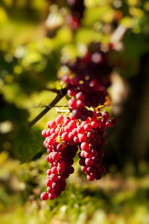 clusters: Closeup of red grapes hanging on a grapevine in Alsace vineyards in France