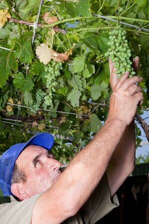 Bulgarian farmer checking the grapes in mid summer photo